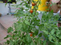 240709南陽幼稚園野菜