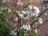 240925南陽幼稚園りんごの花