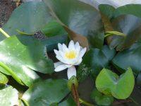 250520南陽幼稚園蓮の花